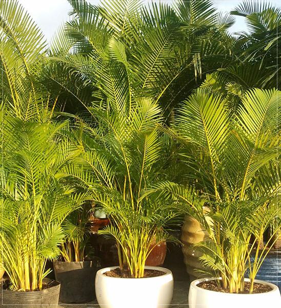 Mệnh thổ nên trồng các loại cây sắc vàng